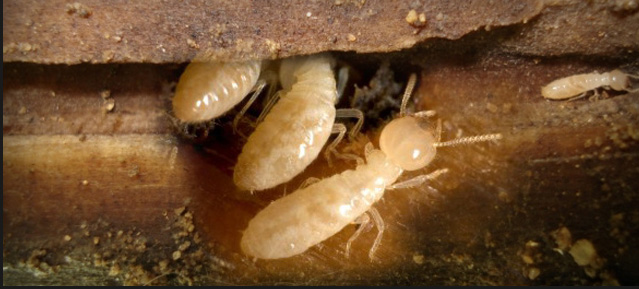 Termite Damage Facts, White Ants Nest, Baby Termites and Do Termites Fly
