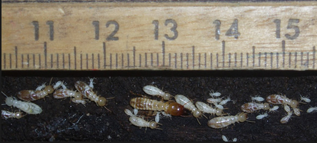 White Termites and Soldier Termites in Sydney showing their size, termite pest control and barrier systems