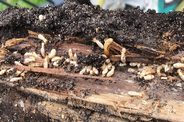 Termites in damp wood in backyard on ground, DIY White Ant Treatment.