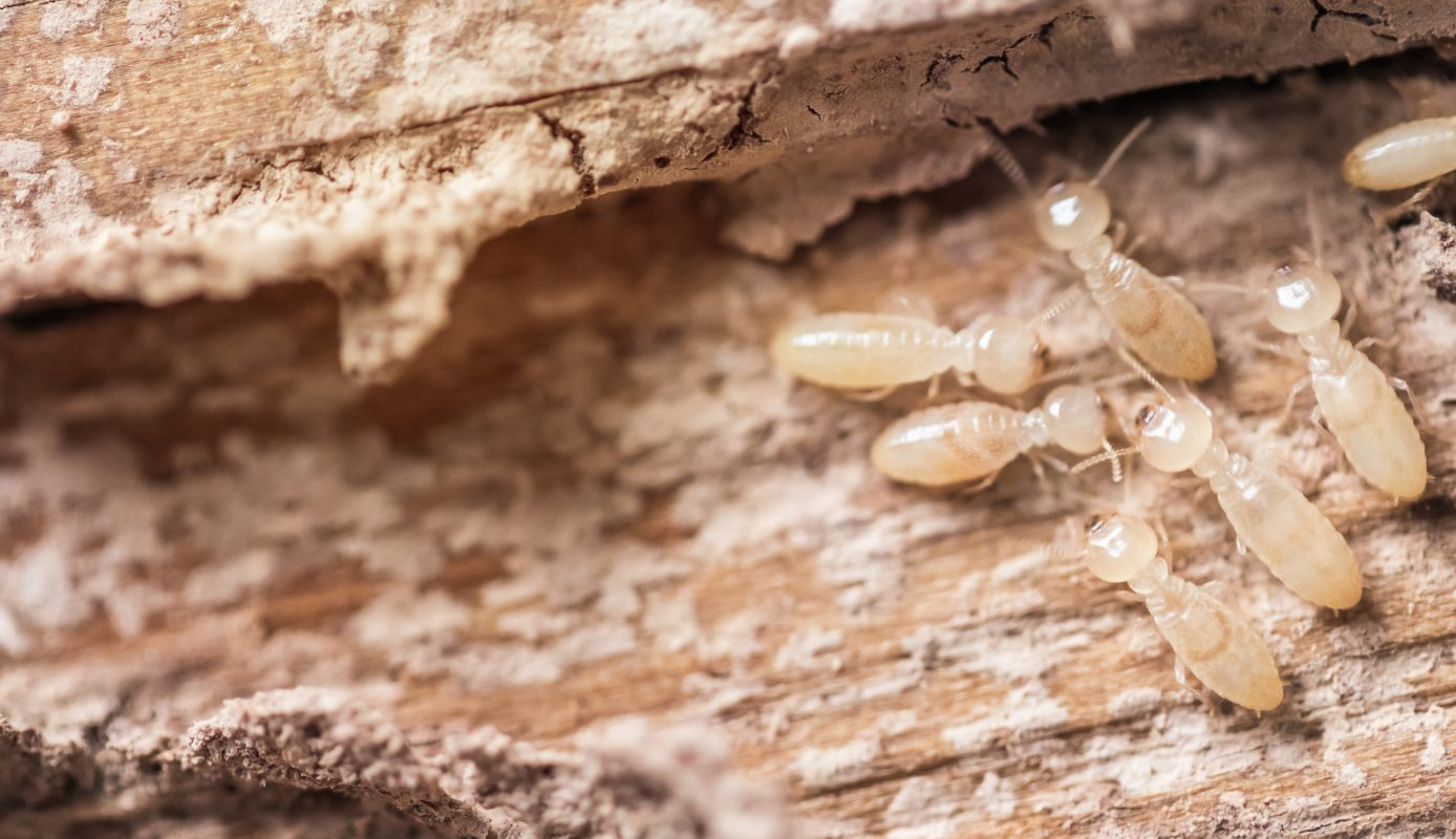 White Ant Infestation termites in House, How to tell if termites are active, Active Termite Infested Wood.