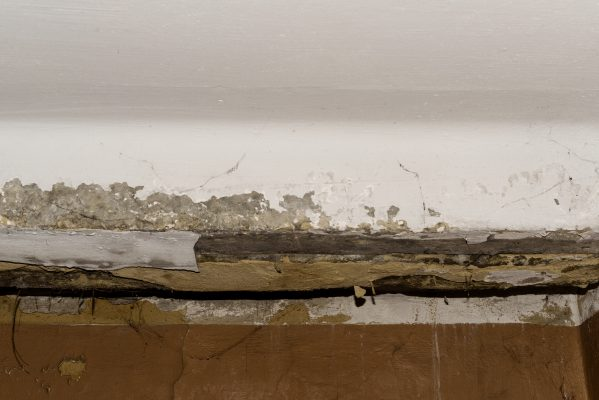 White Ant Infestation termites in House, Active Termite Infested Wood.