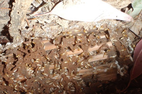 Damaged wood eaten by Termites, Termite Pest control treatment, White Ant Pest Control Treatment, Termite Control Company Near Me. Liverpool Sydney