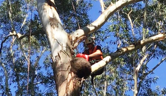 Arboreal Termite Nest in Sydney - Nasutitermes Walkeri Treatment, Termite Nests in Trees