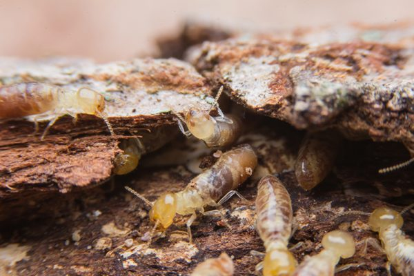 Termite Eradication and white ants nest removal cost, Subterranean Underground Termite Treatment.